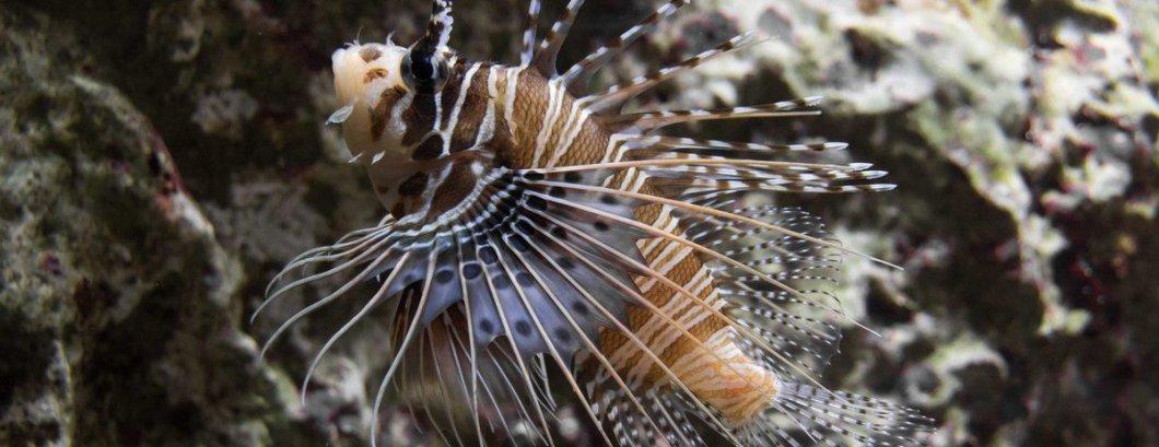 Rascasse, photo de Regard Animalier